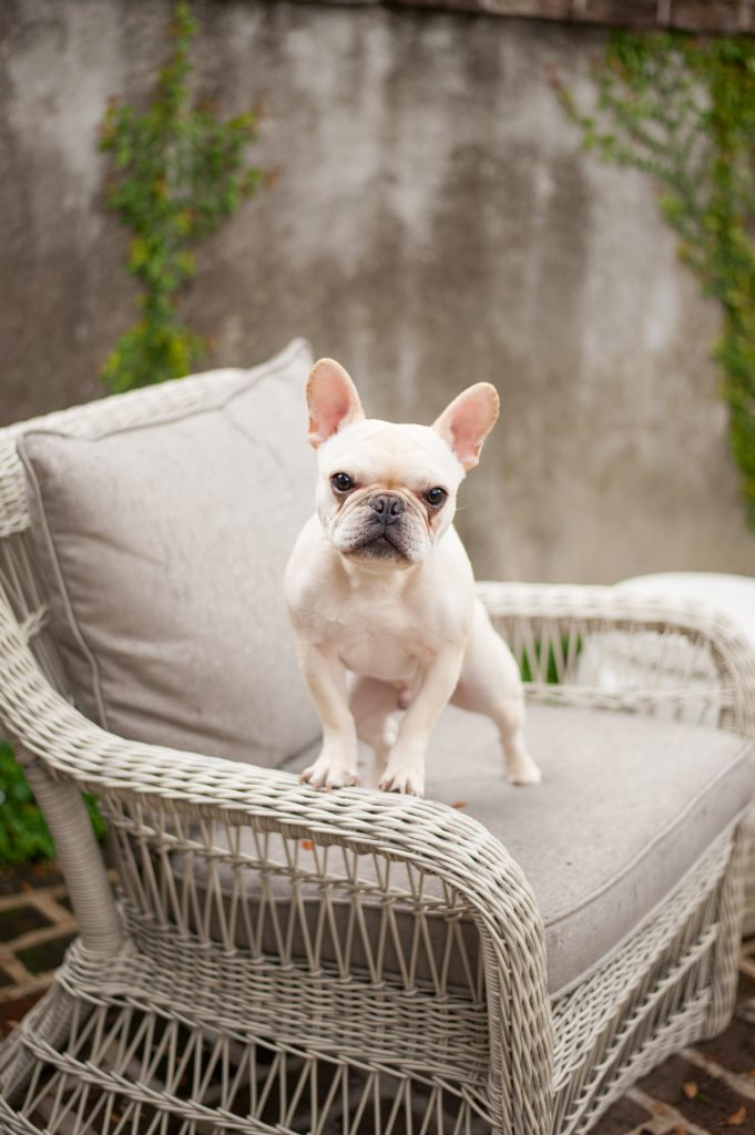 Frenchie in downtown Charleston