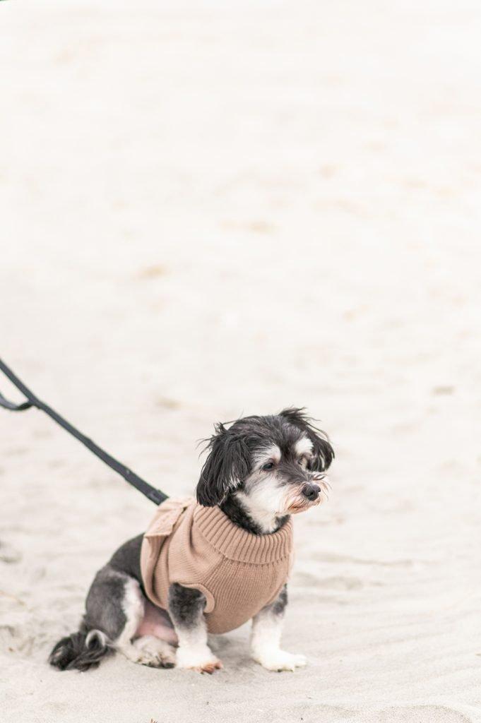 small dog on Folly Beach